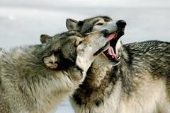 French kiss (tammyjq41) Tags: bravo wolf indiana tjs blueribbonwinner wolfpark tjd specanimal animalkingdomelite mywinners abigfave impressedbeauty diamondclassphotographer flickrdiamond