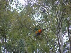 DSCF2493 (dylan.star) Tags: birds lorikeets