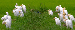resting_egrets2 (Rey Sta. Ana) Tags: wild bird birds wildlife philippines manila rey avian palawan wildbirds mantarey candaba staana