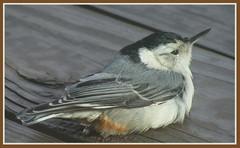 think i'll start a petition against windex (glenda.suebee) Tags: ohio birds patio explore whitebreastednuthatch 170