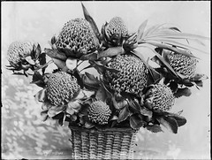 Australian waratahs (Powerhouse Museum Collection) Tags: flowers stilllife plants flower flora shadows basket native floralarrangement arrangement protea powerhousemuseum proteaceae telopeaspeciosissima xmlns:dc=httppurlorgdcelements11 floralbasket driedflowerarrangement dc:identifier=httpwwwpowerhousemuseumcomcollectiondatabaseirn27614