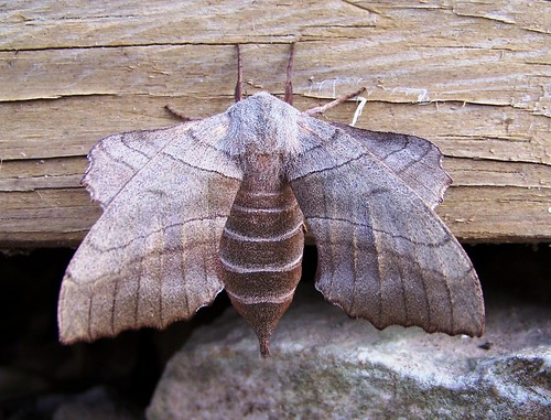 Mega-Moth