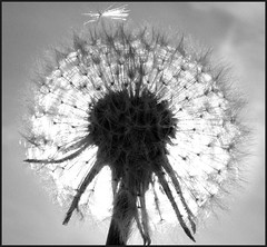 The dandelion (Adrinne - happy birthday Alfie -) Tags: sunlight reflections blackwhite weed zwartwit dandelion paardebloem terneuzen naturesfinest anawesomeshot aplusphoto pdpnw ultimateshot onlyyourbestshots diamondclassphotographer adoublefave panasonicdmcfz18 spiritofphotography otheensekreek flickrlovers breahttaking addyvanrooij qualitysurroundings monochromeformsinvisualarts lovelymotherearth
