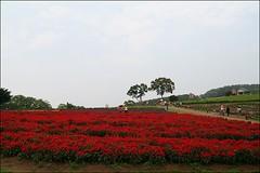 大溪花海105