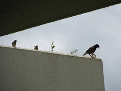 Waiting to grab a crumb (JennyYo) Tags: birds hanaleibay lookoutprincevillehotel