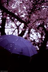 III (Solar ikon) Tags: leica rain japan umbrella 50mm f100 sakura fujifilm osaka provia m6 rvp summicronm