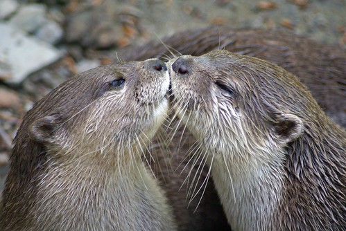 otter kiss
