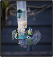 1S9A1237 (saundersfay) Tags: bluetits feeder wings flying bluetitts birds feeding fluttering countryside kent 2017