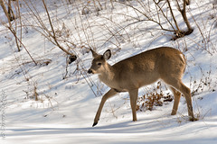 Cautiously.  (Explored) (dbifulco) Tags: explored animal nature newjersey nikkor300f4pfed snow whitetaileddeer wildlife winter yard