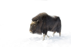 Muskox in winter (Jim Cumming) Tags: animal antler arctic black bull canada cattle cold face fauna fur giant hair hoofed hooves horn horned mammal musk muskox nature northern outdoors ovibos ox portrait power quebec rural snow ungulate white wild wildlife winter wool zoo whitebackground whitelandscape winterlandscape wintersnow