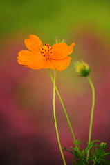 Zen (docjabagat) Tags: orange flower green garden cosmos orangecosmos aplusphoto
