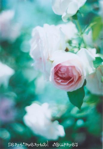 rose*8
