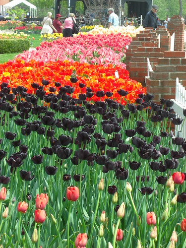 Not sure what I think of the black tulips