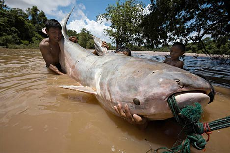 Dog-eating Catfish. This is not the Mekong Giant Catfish, but it is one of the large catfish found in the river.