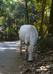 brahmin cow (sean o mac) Tags: sun india holiday nature yoga goa warmth jo sean hindu mandrem