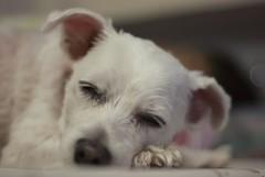Sleepy.... (Os Sutrisno) Tags: dog pet cute nikon peace sleepy buffy maltese d80 myfacebook