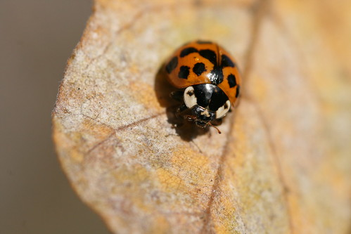 Harlequin Ladybird Drying off the Morning Dew 2