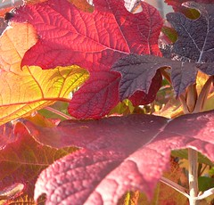 4 leaves, 4 colors (Photos Ali) Tags: autumn light red fall colors leaves yellow herfst structure blad kleuren nerfs structuur nerven