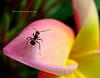 También soy hermoso (Karina Diarte de Maidana) Tags: flower macro insect ant paraguay discrimination hormiga camponotus aplusphoto karinadiarte