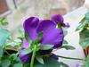 dettaglio floreale (Italian Bongo) Tags: macro fiore viola naturalmente pisasocialevent