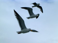 Three seagulls follow the boat (sawdevcin) Tags: ocean sea seagulls fish birds washington fishing flight ilwaco