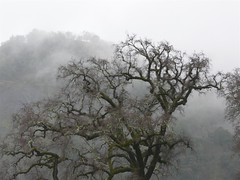 Valley Oak with Misteltoe (judi berdis) Tags: usa tree fog oak nca willits mendocinocounty explore29912202007