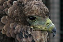 Bateleur eagle (Pungu) (Leo Reynolds) Tags: bird animal fauna eagle canons3 leol30random groupallanimals canon powershot s3 is 0004sec f35 559mm 1ev xleol30x hpexif xratio3x2x xx2007xx