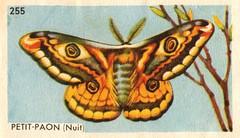 papillon 09