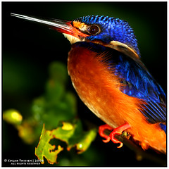 Blue-eared Kingfisher (Ed