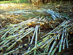 sugarcane (M.Rizwan Rafique) Tags: pakistan plants village sugarcane pakistanvillage