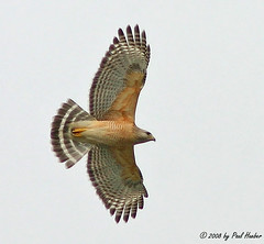 Red-shouldered Hawk in flight (Buteo lineatus) (Paul Hueber) Tags: bird nature birds canon florida hawk wildlife flight aves raptor ave handheld avian redshoulderedhawk bif seminolecounty birdinflight altamontesprings centralflorida buteo buteolineatus featheryfriday rsha musicarver
