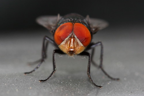 Red-Eyed Pest