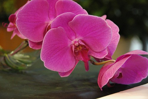 Unknown Moth Orchid