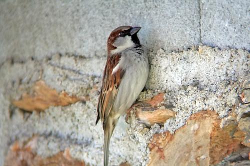 Pardal-comum (Passer domesticus)