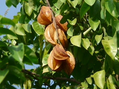 Averrhoa carambola (dinesh_valke) Tags: evergreen tropical perennial starfruit spu smalltree cornichon oxalidaceae karambola sternfrucht fivefinger vinagrillo averrhoacarambola belimbingmanis kheta nakfuang carambolier mafueang belimbingbatu belimbingbesi belimbingpessegi belimbingsayur belimbingsaji fivecorner caramboleiro blimbinglegi fransmanbirambi tiriguro camerunga limasdecayena carambolera caramboler árboldepepino coolietamarind tamarindochino tamarindodulce bilimbines yangtáo coromandelgooseberry zibline pepinodelaindia chinesegooseberry ediblefruit karambole kamaraka shiral kamranga woodsorrelfamily averrhoapentandra ambanapukaya carambolero dantasatha gorenshi kamaraakshi kamarakha kamaramga kamarana kantacatkam karamala karambala karanbora karmarakah karmaranga karmarangamu parnamachal pitaphala sabue tamarattai tamarattampazam tamatakaya wulianzi