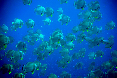 School of Batfish in Similan Islands, Thailand