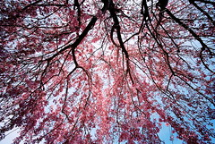 pink cherry rain (troutfactory) Tags: pink tree film japan cherry voigtlander blossoms rangefinder wideangle    sakura osaka analogue  kansai 15mm bessal blooming  toyonaka heliar inbloom centuria100