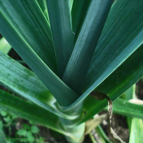 Tehnologia de cultivare a prazului seamana cu cultivarea cepei