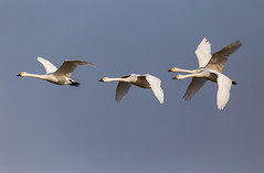 Swans in flight (SleepySheepy22) Tags: 6d canon nature outside outdoors outdoor wild wildlife bird blue sky flying flight sigma 150600mm bif