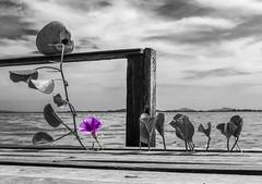 He Can Only Hold Her (rqserra) Tags: amywinehouse hecanonlyholdher backtoblack pretoebranco bw pb blackandwite fineart fineartist finearts selectivecolor contemporary contemporaryart contemporaryartist minimal minimalism minimlismo arte art photoart artphoto coconut flower beach sea côco flor agua mar praia oceano arraialdocabo riodejaneiro rqserra brazil brasil
