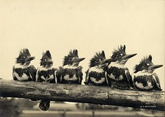 Six of the frowzy-headed Fishers in a pose (OSU Special Collections & Archives : Commons) Tags: beltedkingfisher cerylealcyon flickrhome prettybirds birdsinarow megacerylealcyon osuarchives williamlfinleymanuscriptcollection commons:event=commonground2009 dc:identifier=archives221