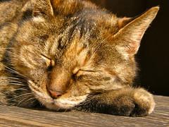 catnap (hamapenguin) Tags: animal cat neko 猫 straycat ネコ 野良猫