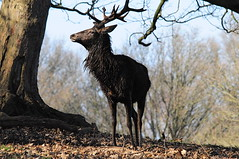 Richmond Park (Sloetry) Tags: london deer reddeer richmondpark sloetry