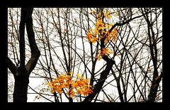 Last Kisses From Fall (Jonny Jelinek) Tags: autumn orange color colour tree fall nature leaves yellow contrast branches natur äste kontrast farbe baum damncool masterclass mywinners thegoldenmermaid naturemasterclass