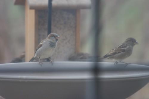 House Sparrows at the bird bath