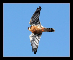 American Kestrel (nature55) Tags: bird nature wisconsin outdoors aves americankestrel naturesfinest nature55 mywinners anawesomeshot blueribbonphotography superbmasterpiece avianexcellence horiconmarch