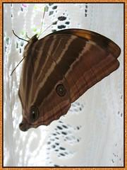 Macro image of Amathusia phidippus phidippus (Palm King) captured on Dec 13, 2007
