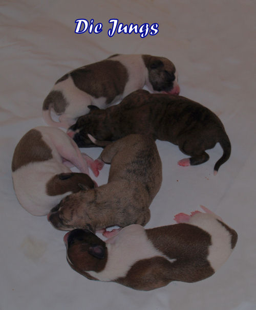 Whippet puppies 3 days old