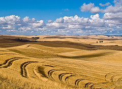 The Palouse in October (Cookie Head) Tags: blue field yellow clouds rural washington october farm moscow wheat ui grain idaho wsu pullman universityofidaho agriculture vandals univerity cougars cougs uofi palouse wheatfield wazzu washingtonstateuniversity