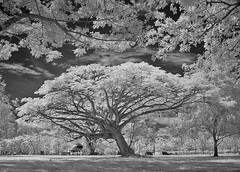 Centre Tree in B&W (Dannie Tj. - ) Tags: singapore infrared sonyf717 hoyar72 unityindiversity digitalcameraclub aplusphoto artinbw flickrlovers micarttttworldphotographyawards savebeautifulearth
